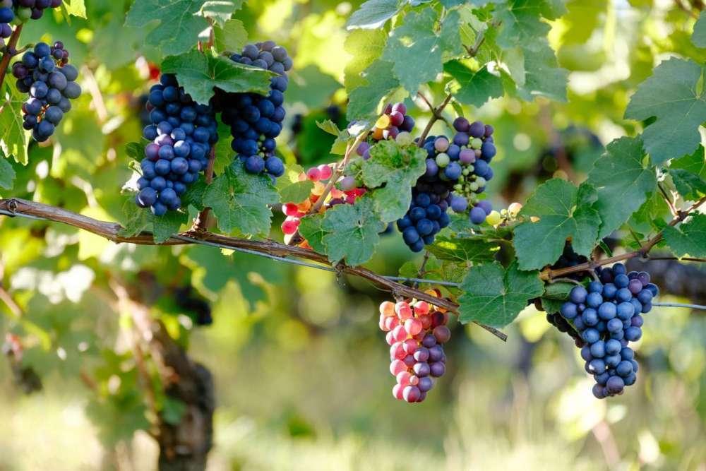 Hoe wordt wijn gemaakt in 8 stappen?